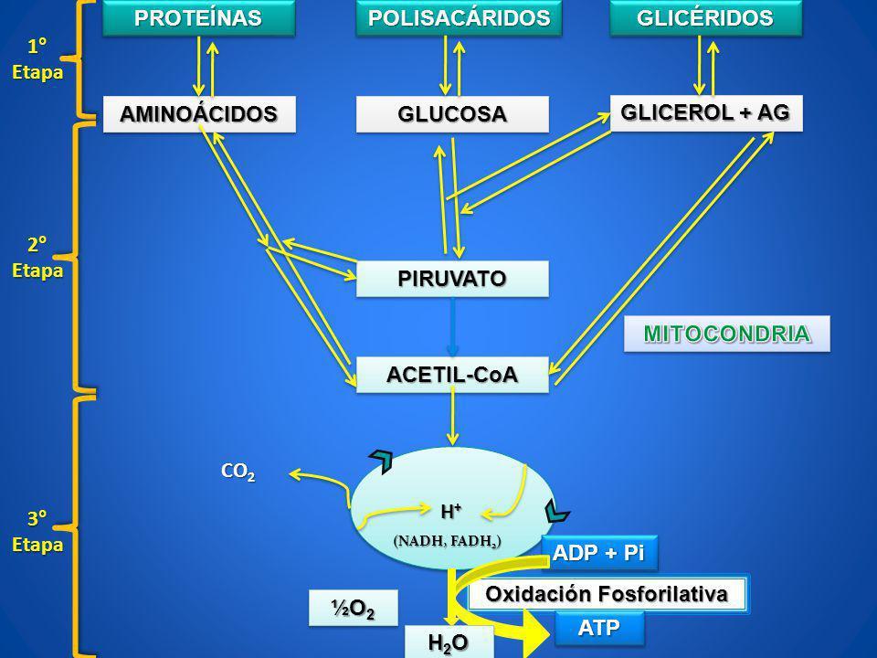 PROTEÍNASPROTEÍNASPOLISACÁRIDOSPOLISACÁRIDOSGLICÉRIDOSGLICÉRIDOS AMINOÁCIDOSAMINOÁCIDOS GLICEROL + AG GLUCOSAGLUCOSA PIRUVATOPIRUVATO ACETIL-CoAACETIL