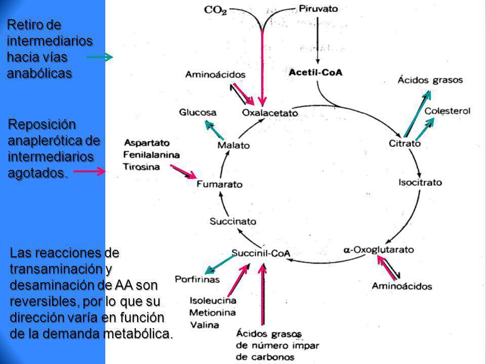 Retiro de intermediarios hacia vías anabólicas Reposición anaplerótica de intermediarios agotados. Las reacciones de transaminación y desaminación de