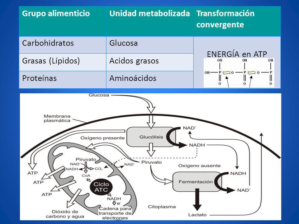 Grupo alimenticioUnidad metabolizadaTransformación convergente CarbohidratosGlucosa ENERGÍA en ATP Grasas (Lípidos)Acidos grasos ProteínasAminoácidos