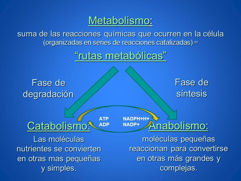Metabolismo: suma de las reacciones químicas que ocurren en la célula (organizadas en series de reacciones catalizadas) = rutas metabólicas Catabolism