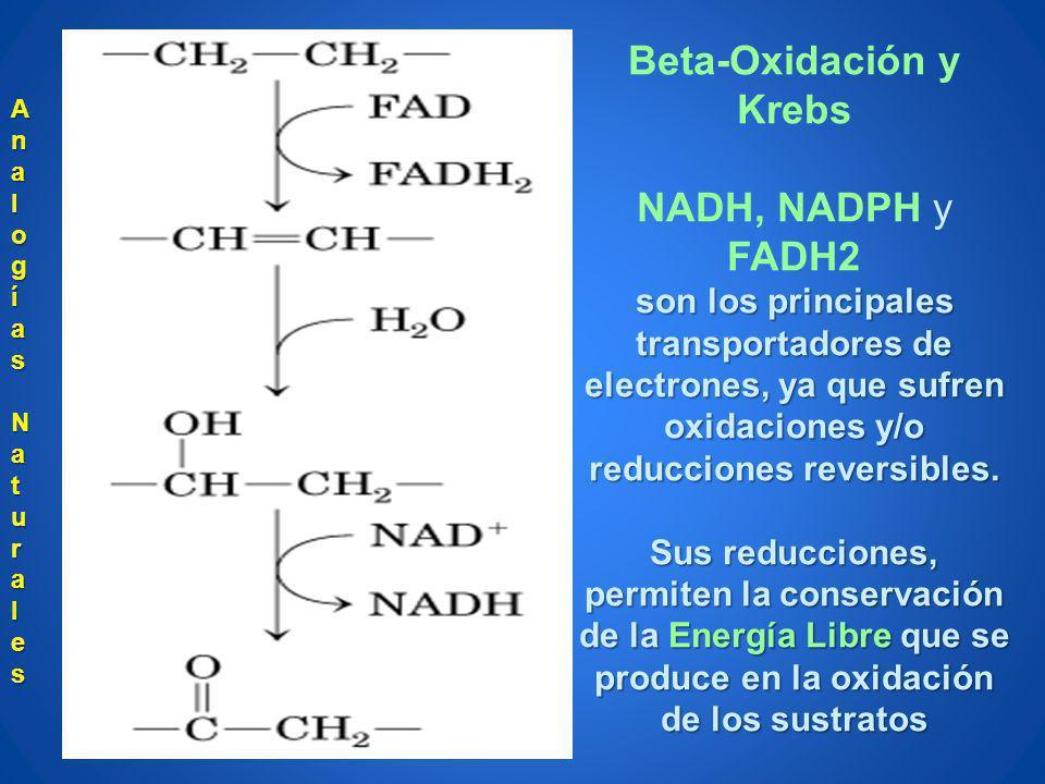 Beta-Oxidación y Krebs NADH, NADPH y FADH2 son los principales transportadores de electrones, ya que sufren oxidaciones y/o reducciones reversibles. S