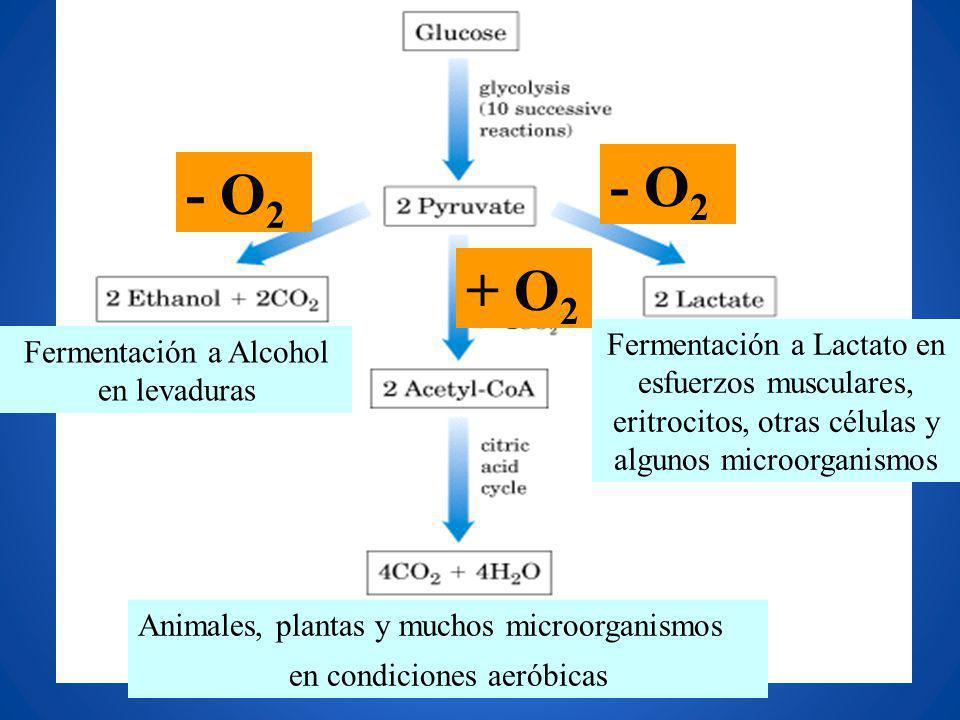 Animales, plantas y muchos microorganismos en condiciones aeróbicas Fermentación a Lactato en esfuerzos musculares, eritrocitos, otras células y algun