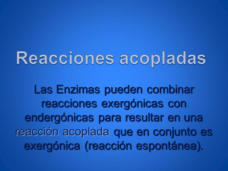 Las Enzimas pueden combinar reacciones exergónicas con endergónicas para resultar en una reacción acoplada que en conjunto es exergónica (reacción esp