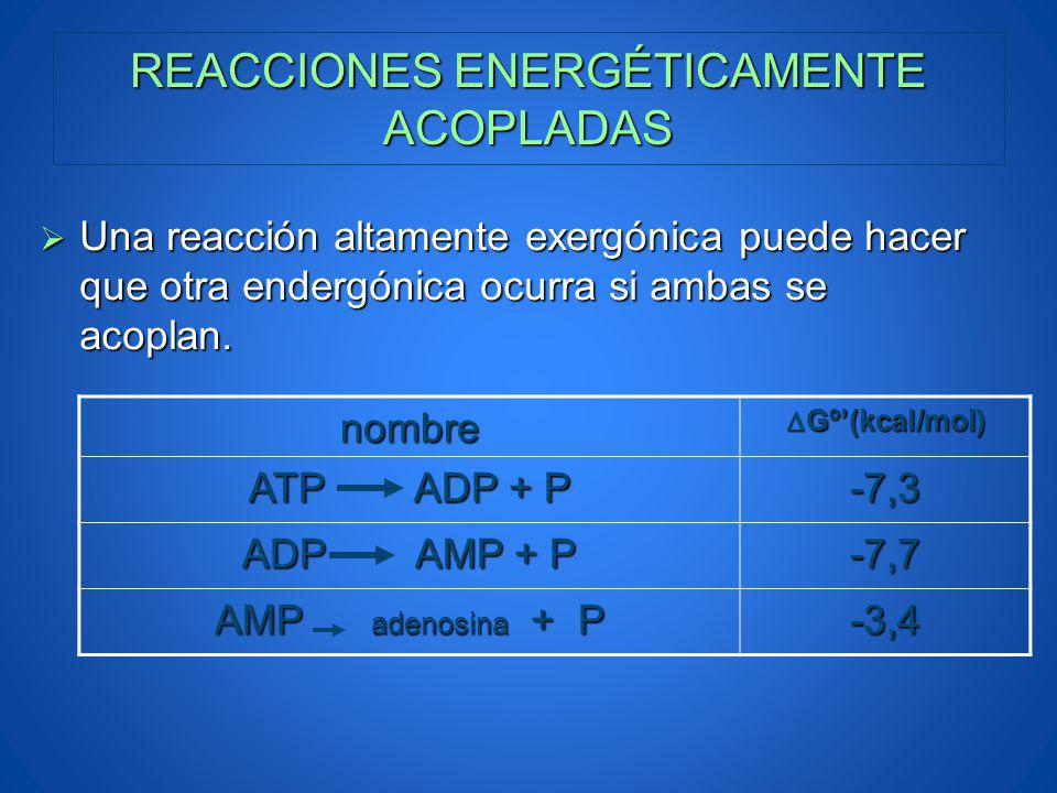 REACCIONES ENERGÉTICAMENTE ACOPLADAS nombre Gº(kcal/mol) Gº(kcal/mol) ATP ADP + P -7,3 ADP AMP + P -7,7 AMP adenosina + P -3,4 Una reacción altamente