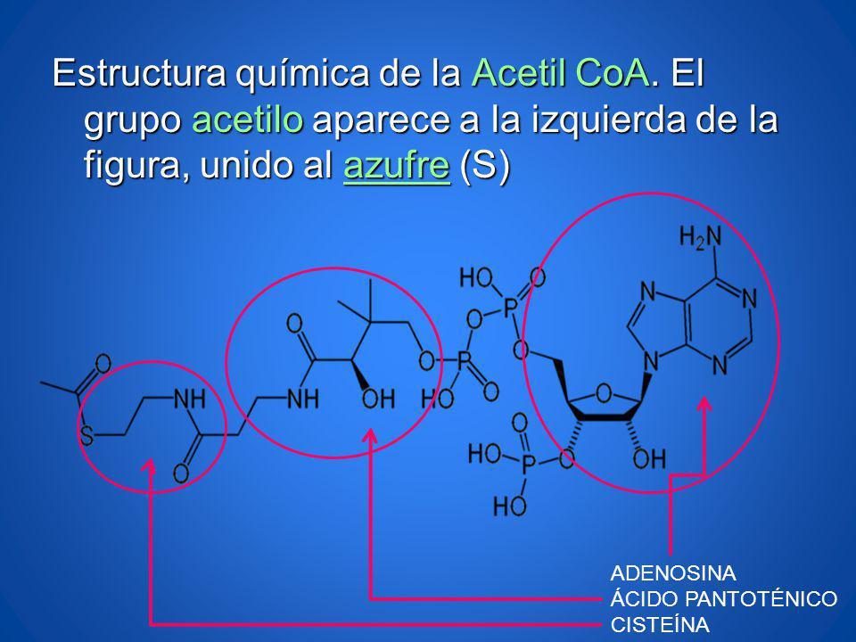 Estructura química de la Acetil CoA. El grupo acetilo aparece a la izquierda de la figura, unido al azufre (S) azufre ADENOSINA ÁCIDO PANTOTÉNICO CIST