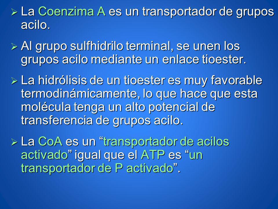 La Coenzima A es un transportador de grupos acilo. La Coenzima A es un transportador de grupos acilo. Al grupo sulfhidrilo terminal, se unen los grupo