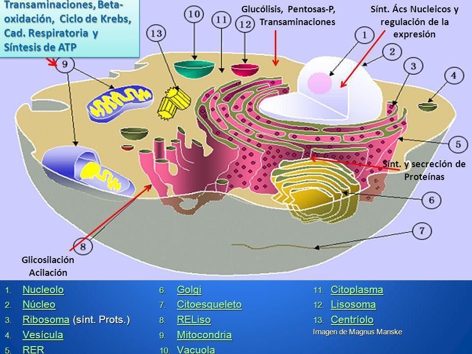 1. Nucleolo Nucleolo 2. Núcleo Núcleo 3. Ribosoma (sínt. Prots.) Ribosoma 4. Vesícula Vesícula 5. RER RER 6. Golgi Golgi 7. Citoesqueleto Citoesquelet