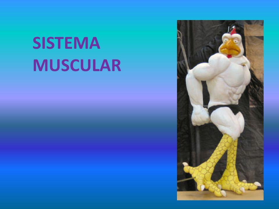 CARACTERÍSTICAS Los músculos se insertan en los huesos por medio de tendones y ligamentos.