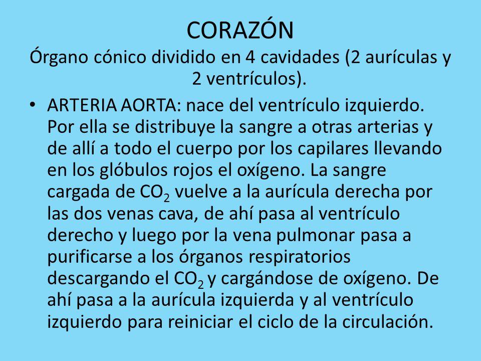 CORAZÓN Órgano cónico dividido en 4 cavidades (2 aurículas y 2 ventrículos).