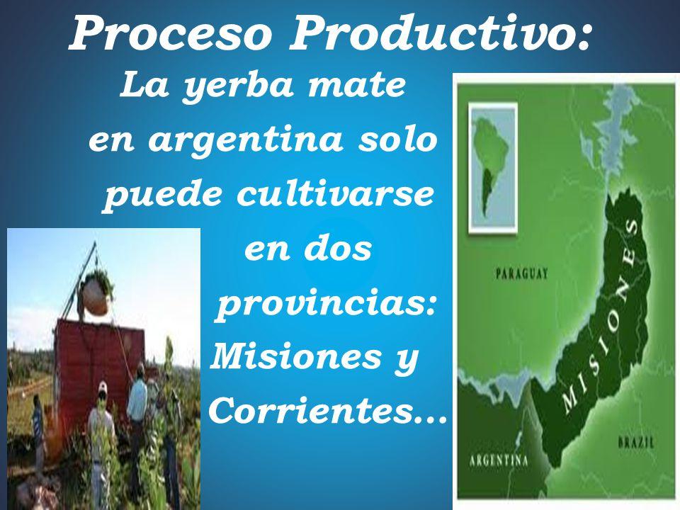 Yerba Mate y sus beneficios: Además de ser una bebida tan popular, la yerba mate también se utiliza con fines medicinales…