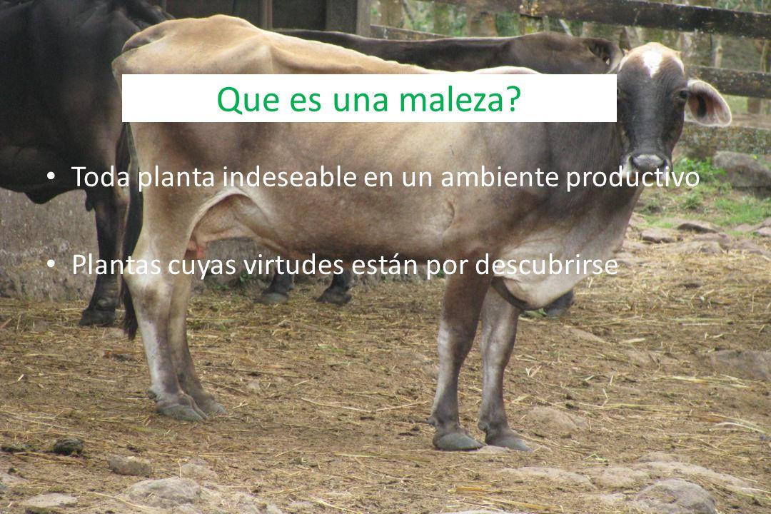Que es una maleza? Toda planta indeseable en un ambiente productivo Plantas cuyas virtudes están por descubrirse