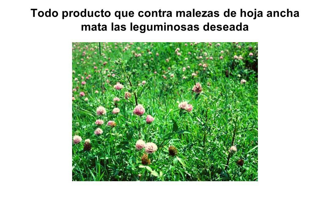 Todo producto que contra malezas de hoja ancha mata las leguminosas deseada