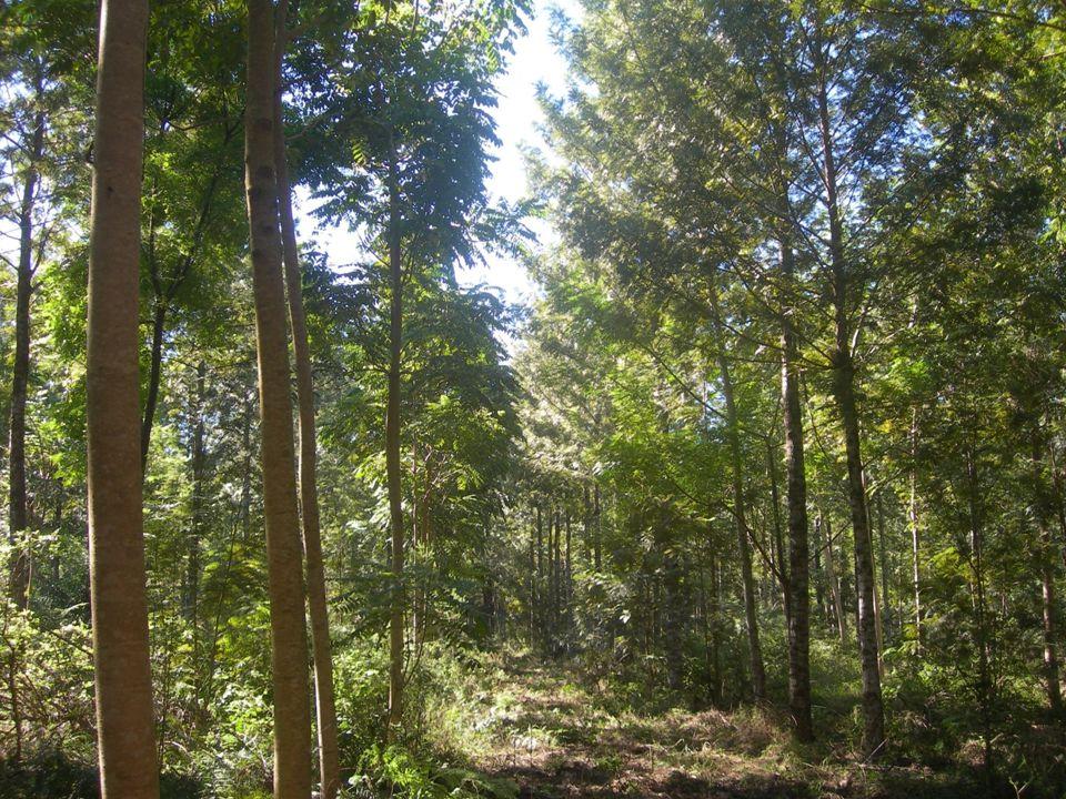Especies nativas Reforestación Combinación de especies exóticas (pre-bosque) con especies nativas (bosque final) 15° año: después del tercer raleo Que