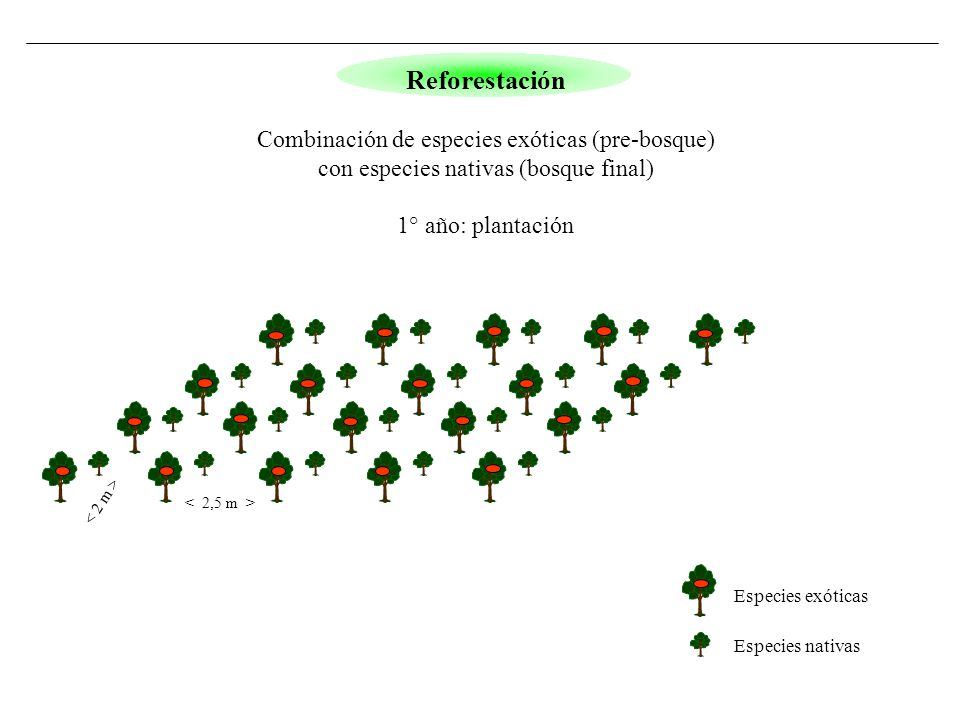 Especies exóticas Especies nativas Reforestación Combinación de especies exóticas (pre-bosque) con especies nativas (bosque final) 1° año: plantación