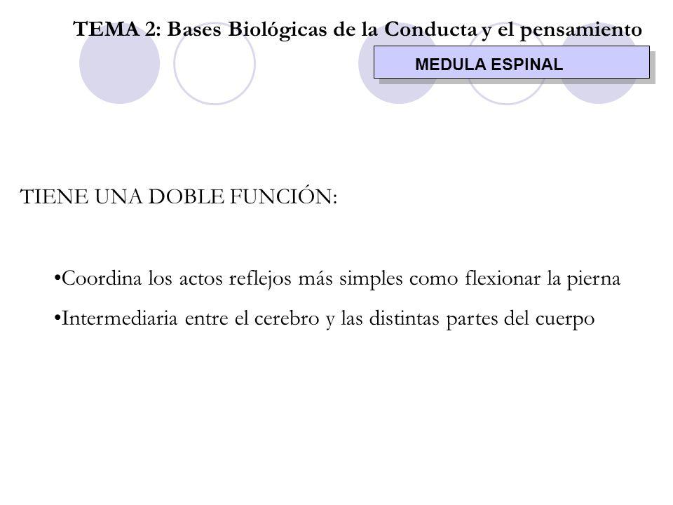 MEDULA ESPINAL TEMA 2: Bases Biológicas de la Conducta y el pensamiento TIENE UNA DOBLE FUNCIÓN: Coordina los actos reflejos más simples como flexiona