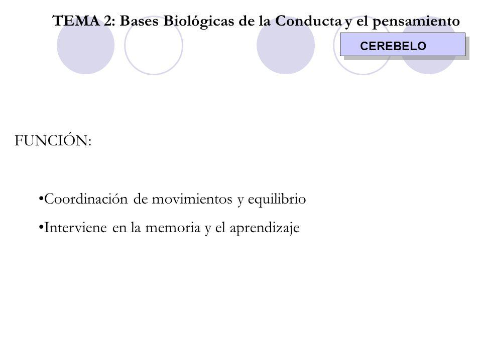 CEREBELO TEMA 2: Bases Biológicas de la Conducta y el pensamiento FUNCIÓN: Coordinación de movimientos y equilibrio Interviene en la memoria y el apre