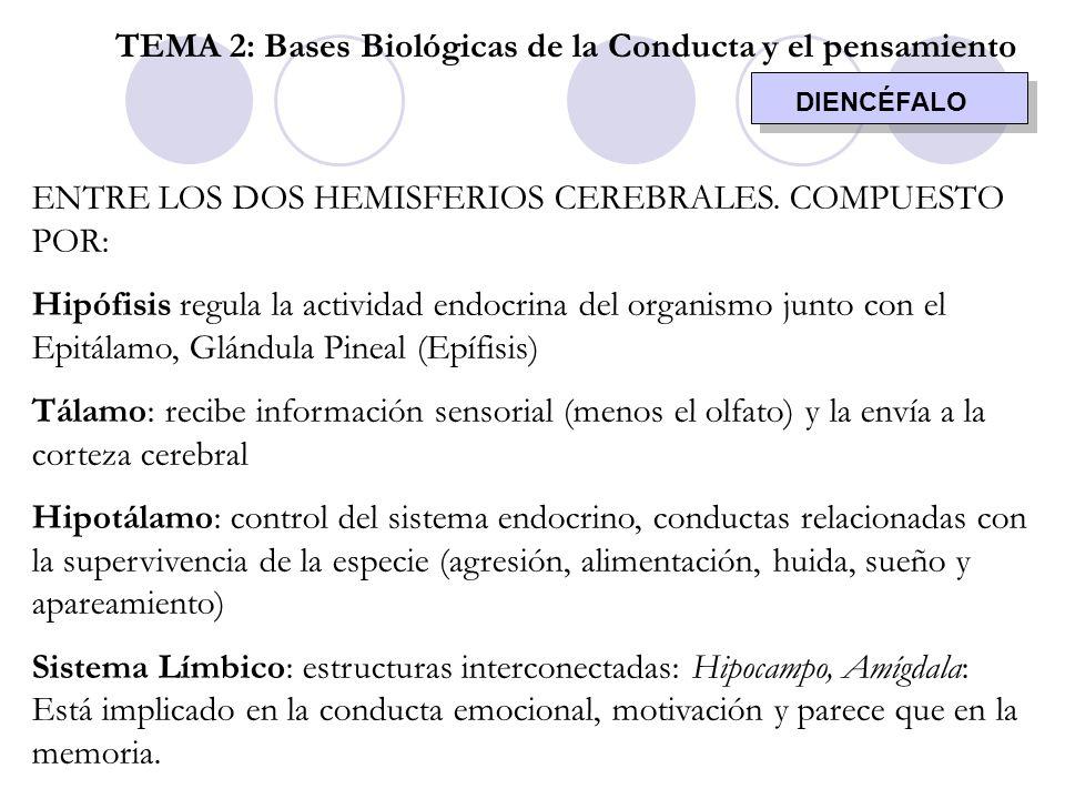 DIENCÉFALO TEMA 2: Bases Biológicas de la Conducta y el pensamiento ENTRE LOS DOS HEMISFERIOS CEREBRALES. COMPUESTO POR: Hipófisis regula la actividad