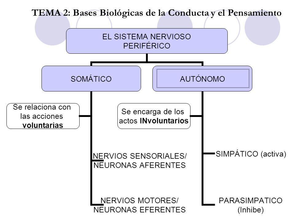 EL SISTEMA NERVIOSO PERIFÉRICO SOMÁTICO NERVIOS SENSORIALES/ NEURONAS AFERENTES NERVIOS MOTORES/ NEURONAS EFERENTES Se relaciona con las acciones volu