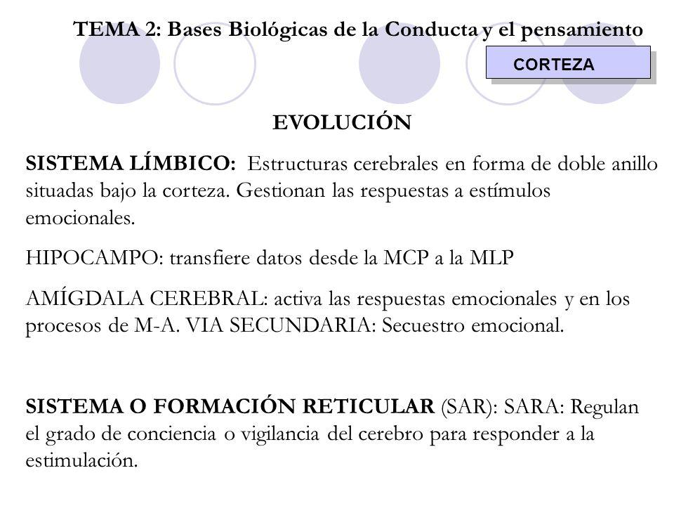 CORTEZA TEMA 2: Bases Biológicas de la Conducta y el pensamiento EVOLUCIÓN SISTEMA LÍMBICO: Estructuras cerebrales en forma de doble anillo situadas b