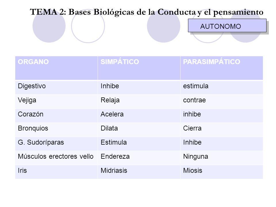 AUTONOMO TEMA 2: Bases Biológicas de la Conducta y el pensamiento ORGANOSIMPÁTICOPARASIMPÁTICO DigestivoInhibeestimula VejigaRelajacontrae CorazónAcel