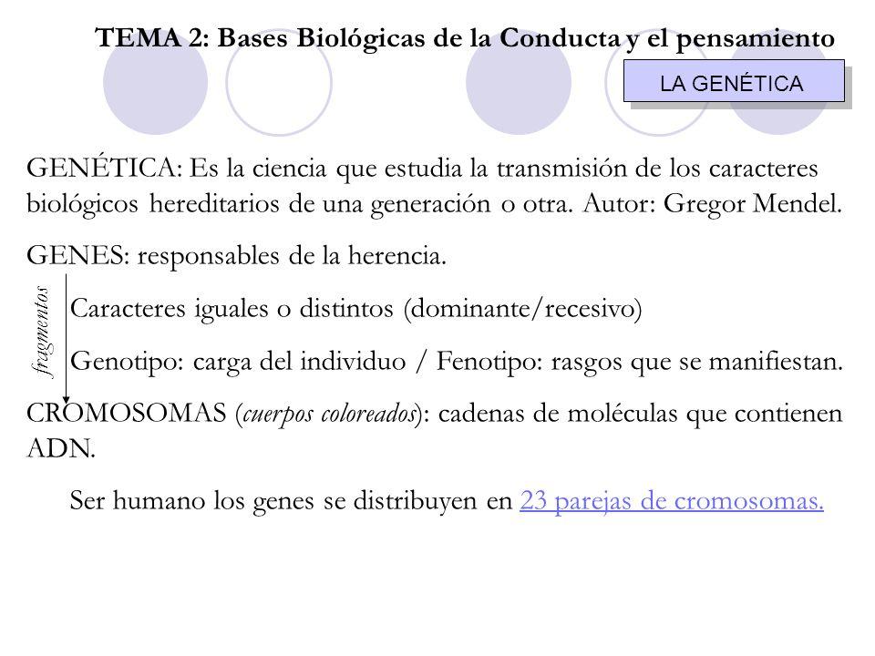 LA GENÉTICA GENÉTICA: Es la ciencia que estudia la transmisión de los caracteres biológicos hereditarios de una generación o otra. Autor: Gregor Mende