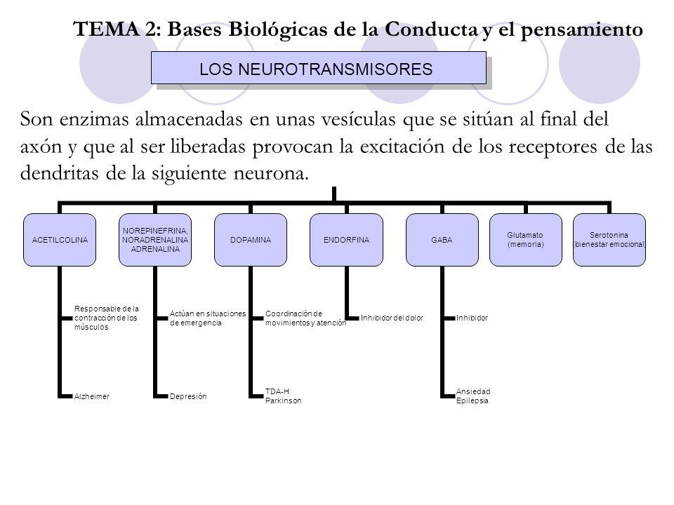 EL SISTEMA NERVIOSO CENTRAL MÉDULA ESPINAL EL ENCÉFALO PERIFÉRICO SOMÁTICO AUTÓNOMO TEMA 2: Bases Biológicas de la Conducta y el Pensamiento