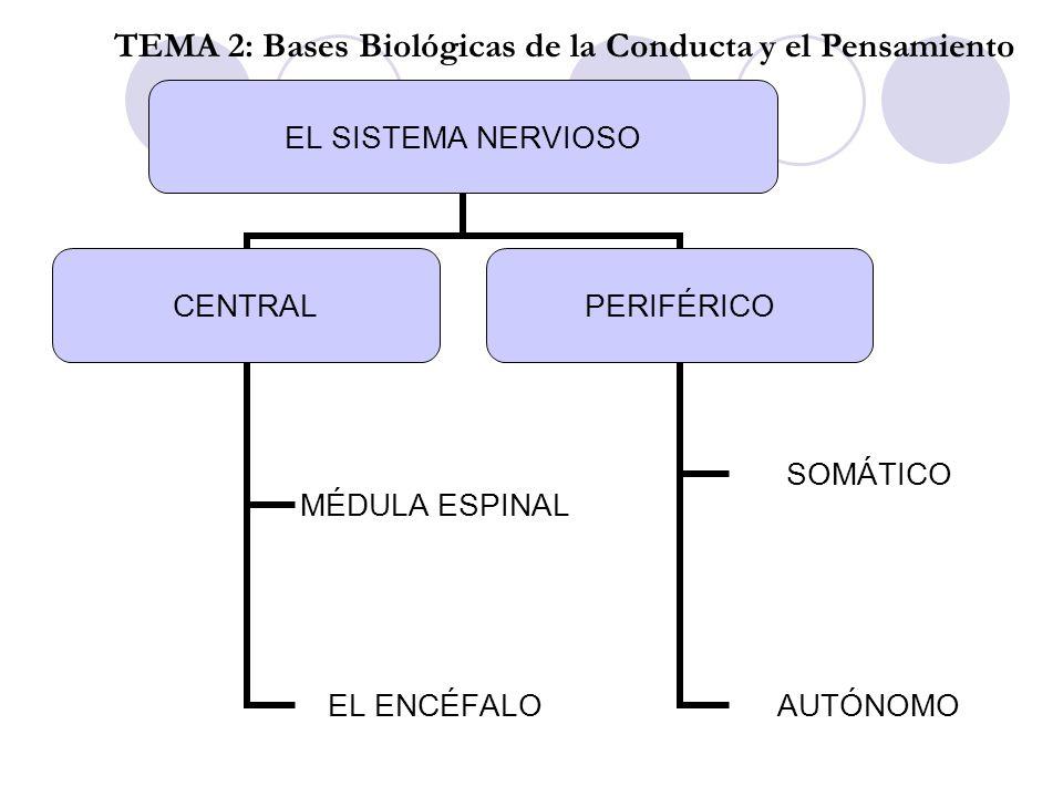 CORTEZA TEMA 2: Bases Biológicas de la Conducta y el pensamiento EVOLUCIÓN SISTEMA LÍMBICO: Estructuras cerebrales en forma de doble anillo situadas bajo la corteza.