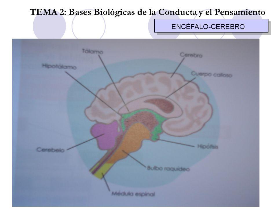 AUTONOMO TEMA 2: Bases Biológicas de la Conducta y el pensamiento ORGANOSIMPÁTICOPARASIMPÁTICO DigestivoInhibeestimula VejigaRelajacontrae CorazónAcelerainhibe BronquiosDilataCierra G.
