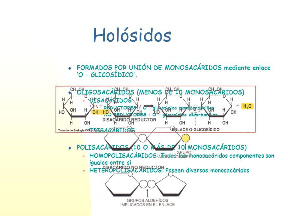 Holósidos FORMADOS POR UNIÓN DE MONOSACÁRIDOS mediante enlace O – GLICOSÍDICO. OLIGOSACÁRIDOS (MENOS DE 10 MONOSACÁRIDOS) DISACÁRIDOS REDUCTORES : O –