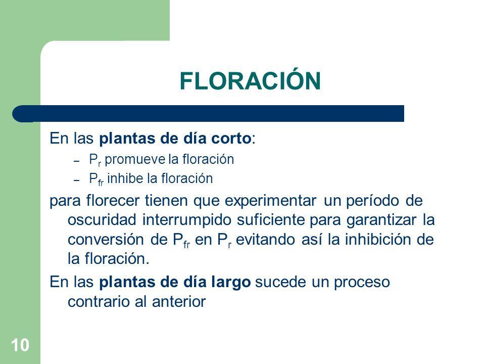 10 FLORACIÓN En las plantas de día corto: – P r promueve la floración – P fr inhibe la floración para florecer tienen que experimentar un período de o