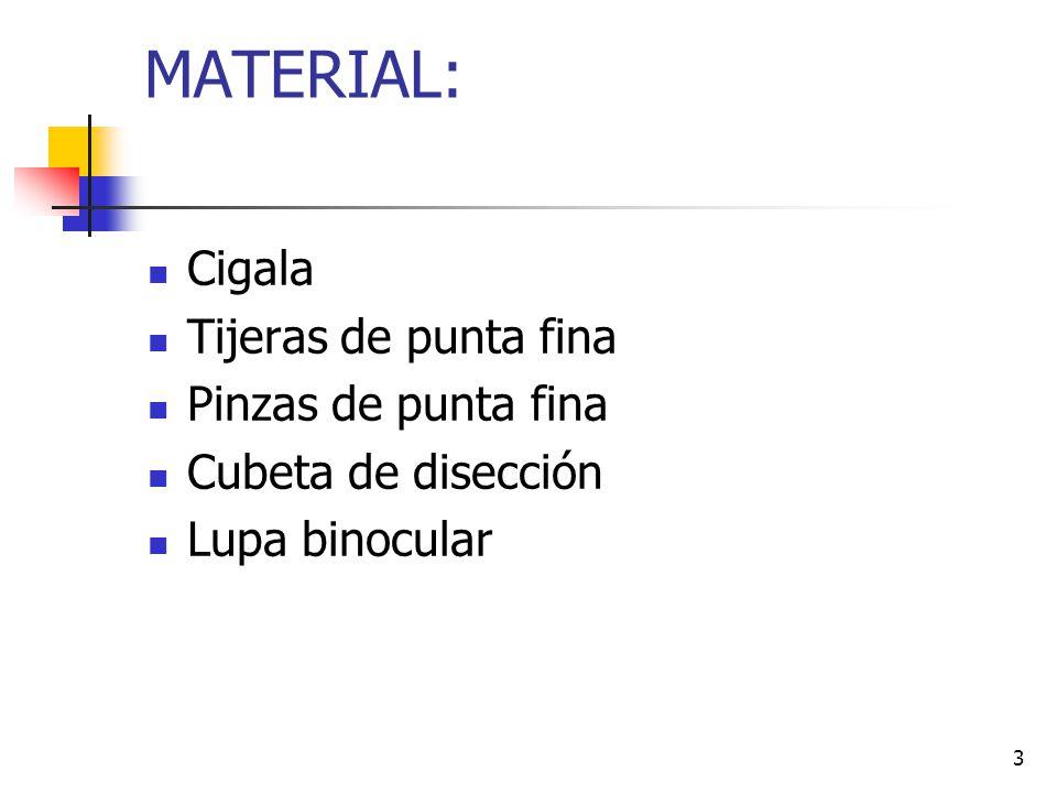 3 MATERIAL: Cigala Tijeras de punta fina Pinzas de punta fina Cubeta de disección Lupa binocular