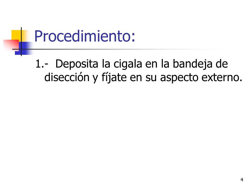 4 Procedimiento: 1.- Deposita la cigala en la bandeja de disección y fíjate en su aspecto externo.