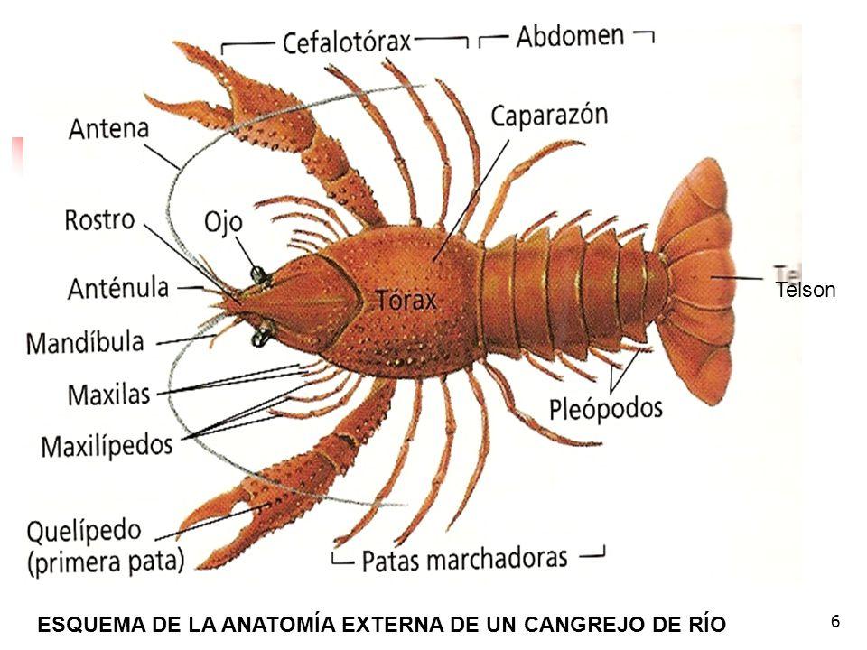 17 Si quieres obtener más información sobre las características generales de un crustáceo, pincha aquí.