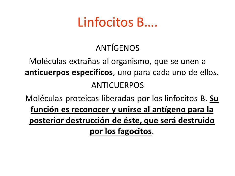 Linfocitos B…. ANTÍGENOS Moléculas extrañas al organismo, que se unen a anticuerpos específicos, uno para cada uno de ellos. ANTICUERPOS Moléculas pro