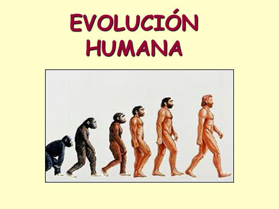 EVOLUCIÓN HUMANA Esquema evolutivo para el género Homo, a partir del momento del poblamiento de Eurasia.