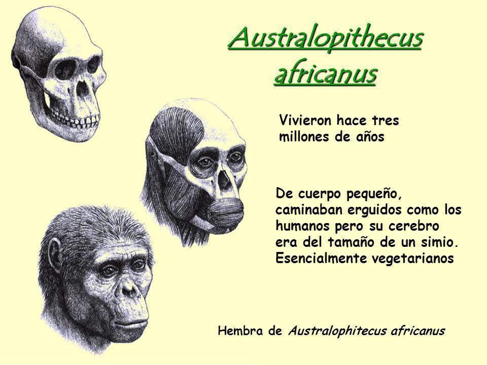 Australopithecus africanus Hembra de Australophitecus africanus Vivieron hace tres millones de años De cuerpo pequeño, caminaban erguidos como los humanos pero su cerebro era del tamaño de un simio.