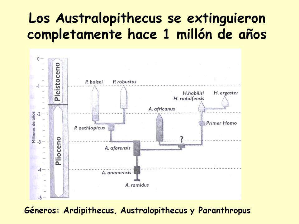 Los Australopithecus se extinguieron completamente hace 1 millón de años Géneros: Ardipithecus, Australopithecus y Paranthropus