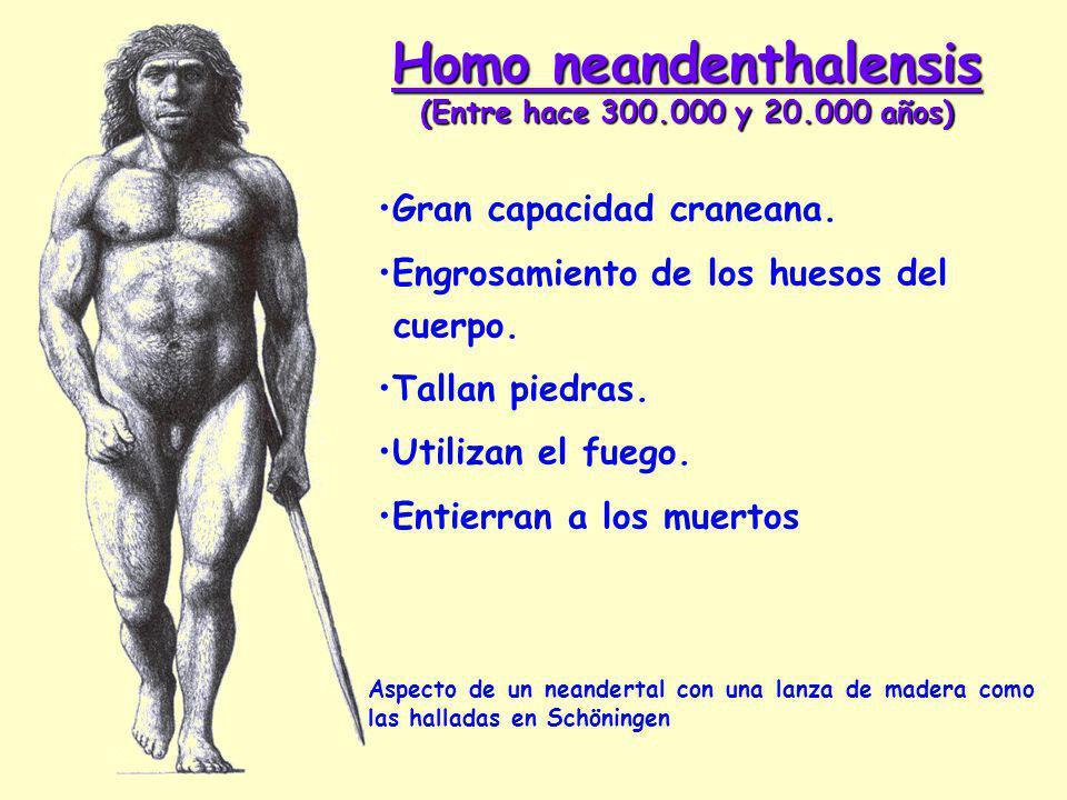 Homo neandenthalensis (Entre hace 300.000 y 20.000 años) Aspecto de un neandertal con una lanza de madera como las halladas en Schöningen Gran capacidad craneana.