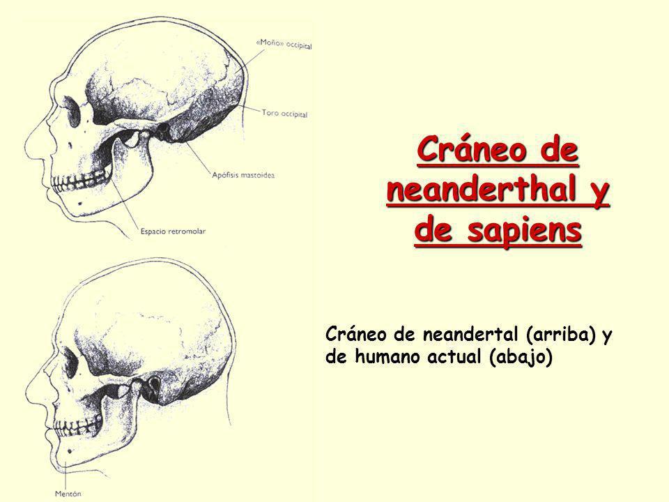 Cráneo de neanderthal y de sapiens Cráneo de neandertal (arriba) y de humano actual (abajo)