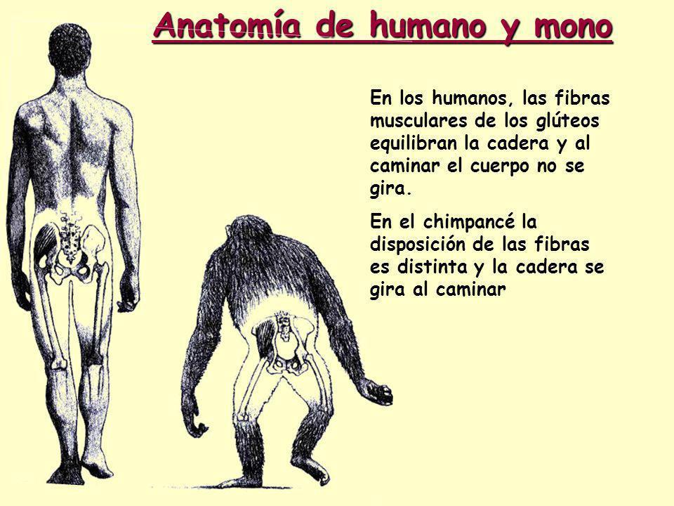 Anatomía de humano y mono En los humanos, las fibras musculares de los glúteos equilibran la cadera y al caminar el cuerpo no se gira.