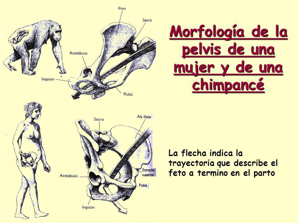 Morfología de la pelvis de una mujer y de una chimpancé La flecha indica la trayectoria que describe el feto a termino en el parto