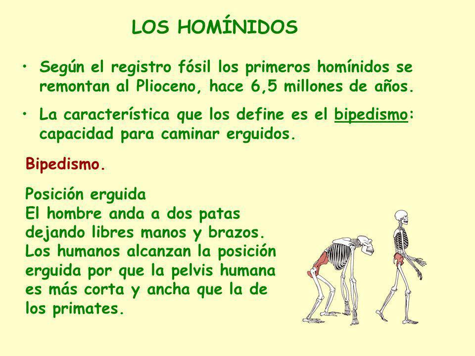 GENERO HOMO 1.Incremento del tamaño del cerebro 2.Maneja utensilios 3.Varias especies: Homo habilis Homo ergaster Homo erectus Homo neanderthalensis Homo sapiens