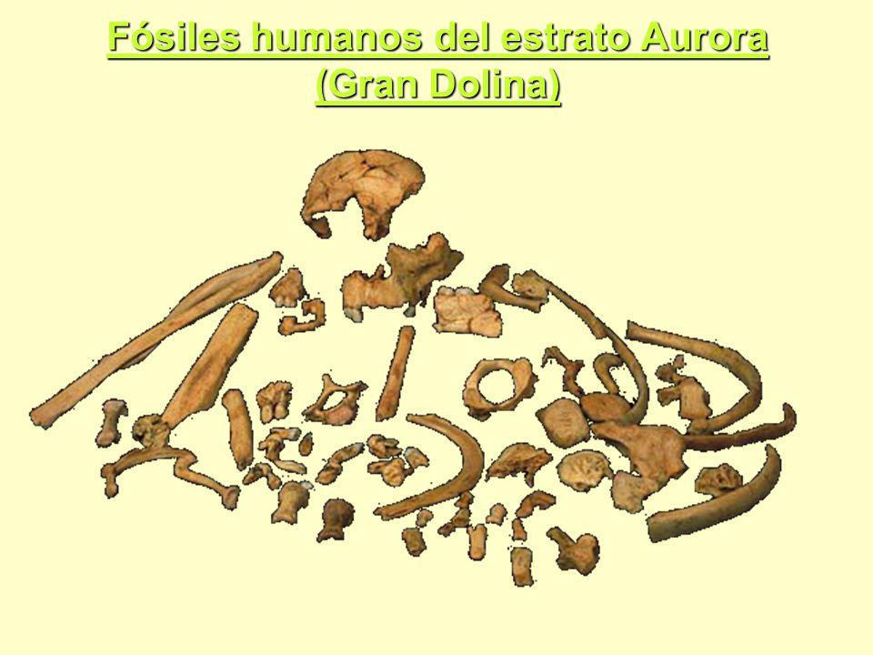Fósiles humanos del estrato Aurora (Gran Dolina)