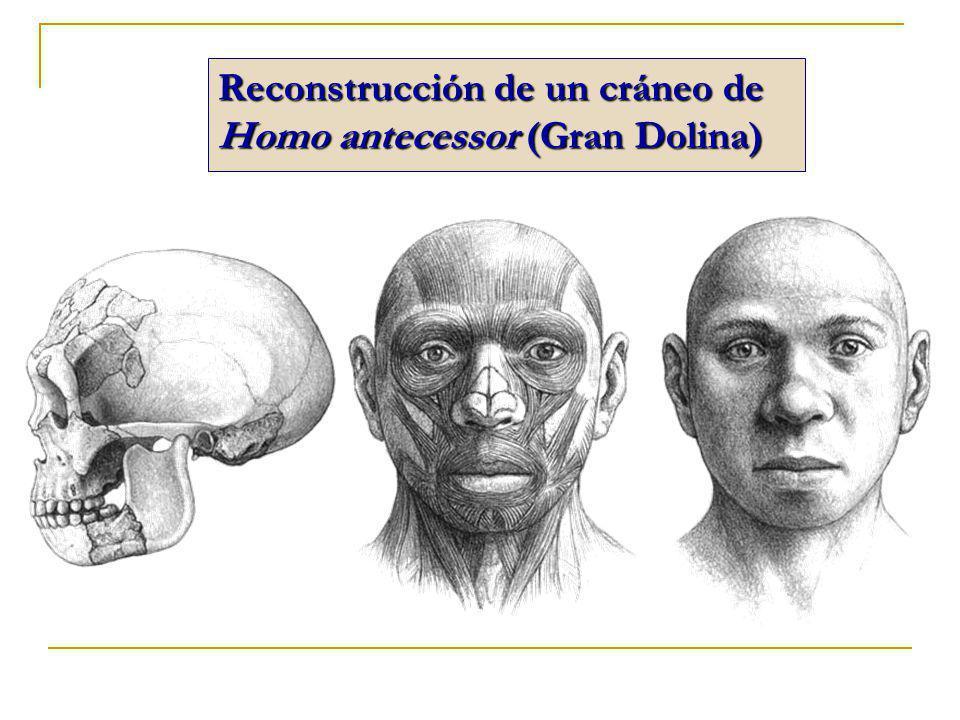 Reconstrucción de un cráneo de Homo antecessor (Gran Dolina)