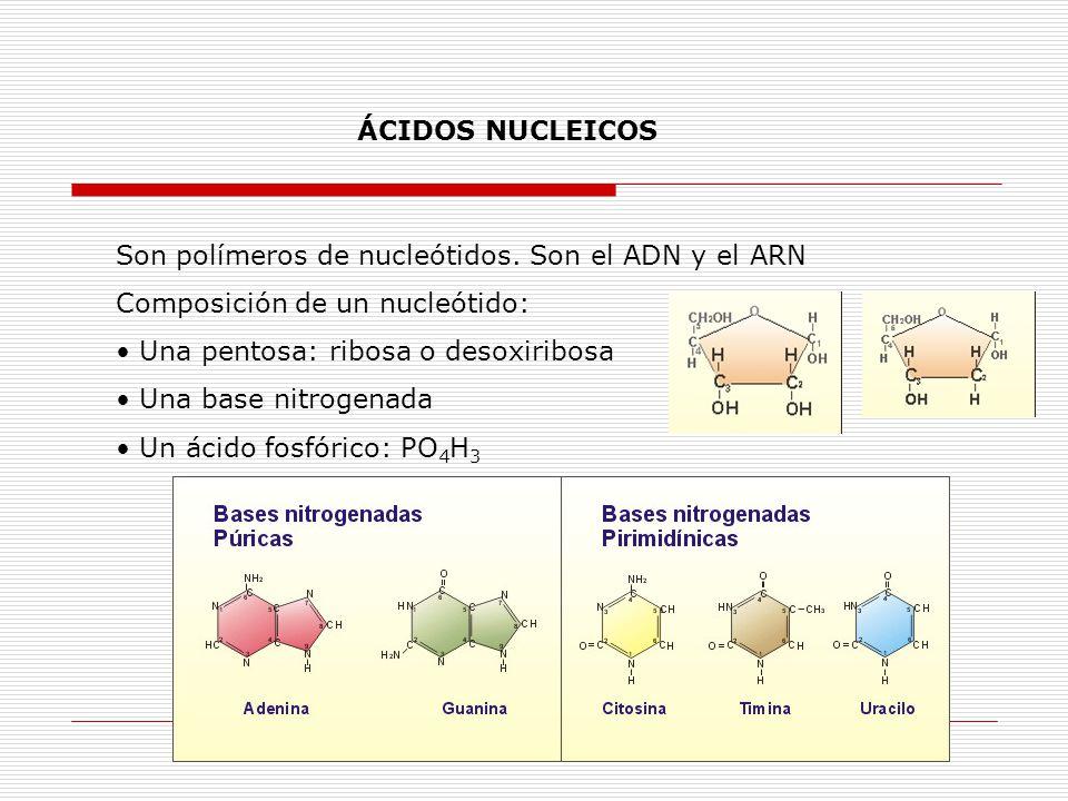 ÁCIDOS NUCLEICOS Son polímeros de nucleótidos. Son el ADN y el ARN Composición de un nucleótido: Una pentosa: ribosa o desoxiribosa Una base nitrogena