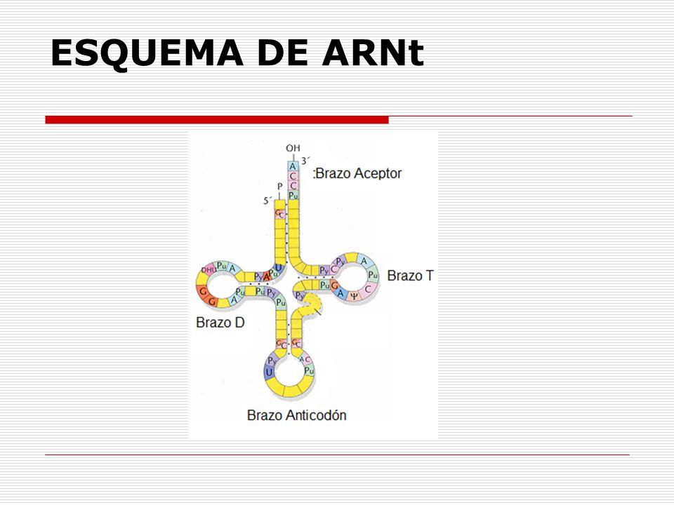 ESQUEMA DE ARNt