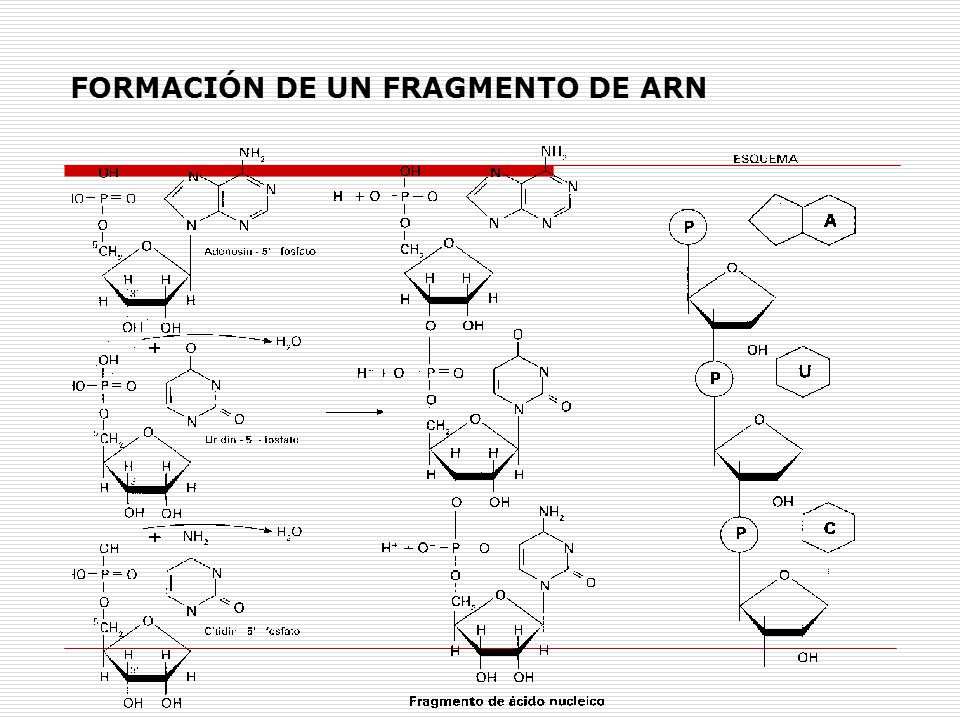 FORMACIÓN DE UN FRAGMENTO DE ARN