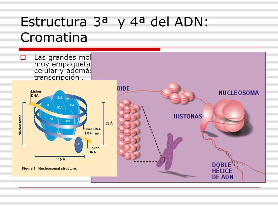 Estructura 3ª y 4ª del ADN: Cromatina Las grandes moléculas de ADN de las células eucariotas están muy empaquetadas ocupando así menos espacio en el n