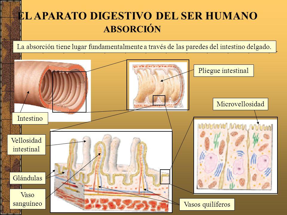 El intestino delgado 19