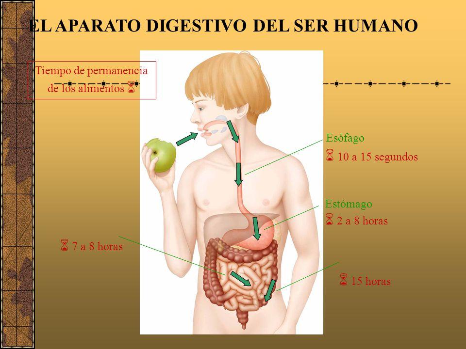 El páncreas El páncreas es un órgano del cuerpo humano que desempeña un papel importante en la digestión de la comida. El páncreas también produce ins